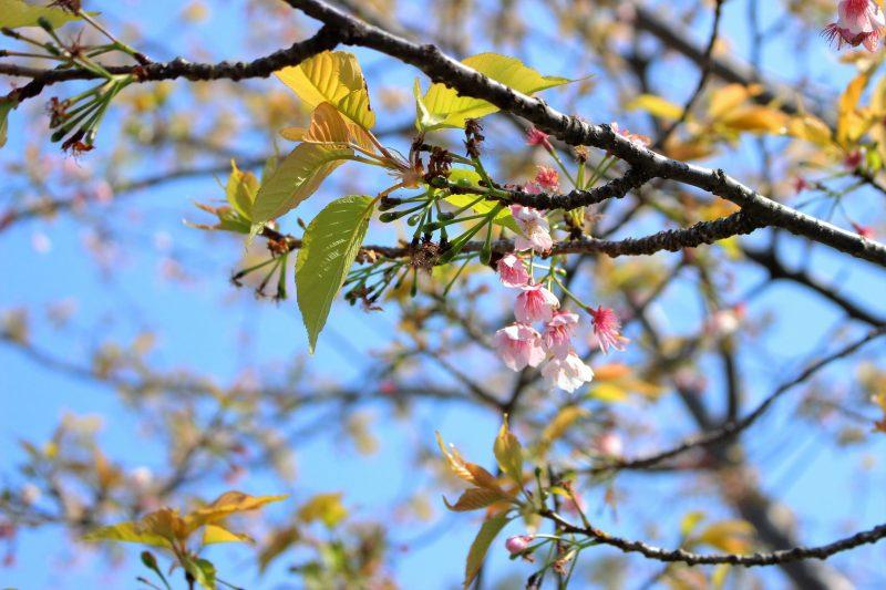 こちらはトゥーンタウンの桜です💫